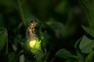Foto: ProNatura – Lampyris noctiluca Biosphoto© / Stephane Vitzthum